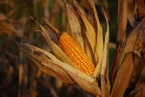 Mais voor onze landbouwdieren